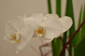 母の日 胡蝶蘭の花言葉
