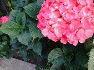 母の日 紫陽花の花言葉