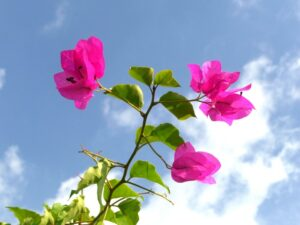母の日 ブーゲンビリア(ブーゲンビレア)の花言葉