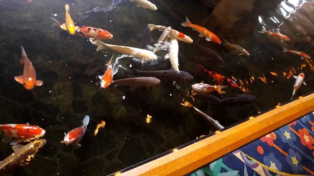 ホテル瑞鳳 鯉