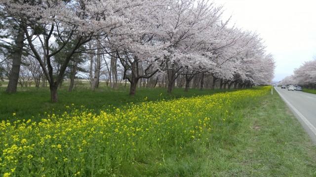 大潟村 桜 開花状況