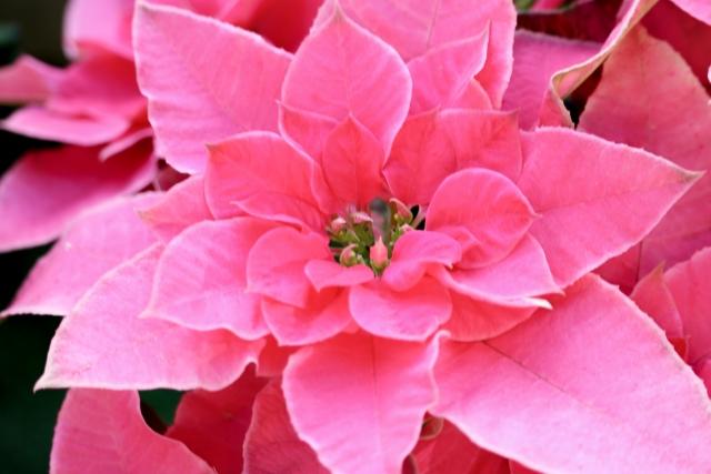 ポインセチア 花言葉 ピンク
